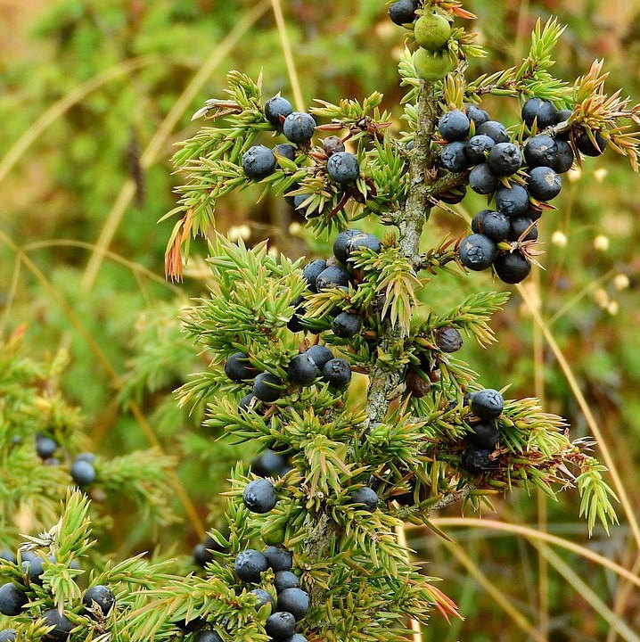 Juniper berries for smoking whole - 100g