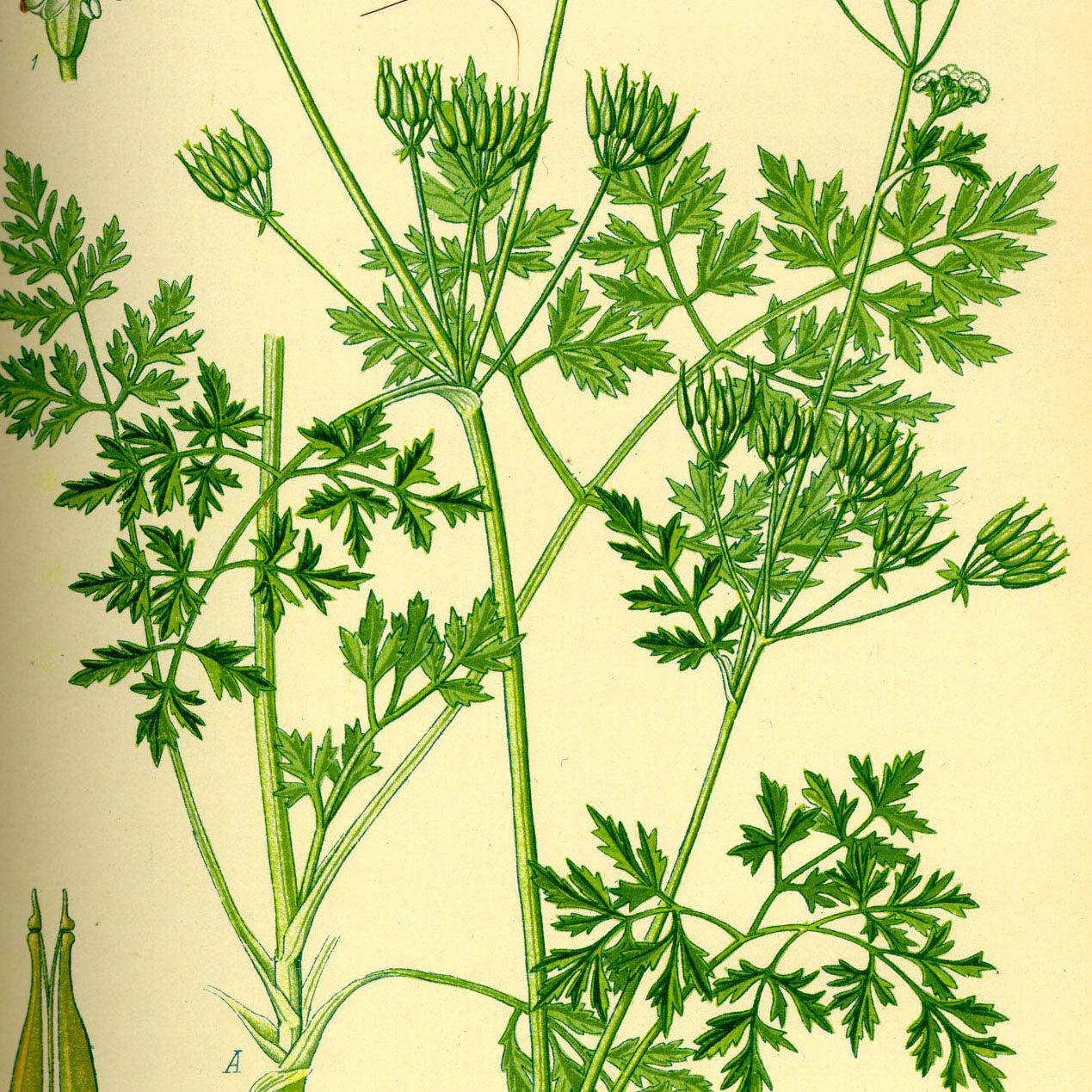 Chervil leaves rubbed - 1000g