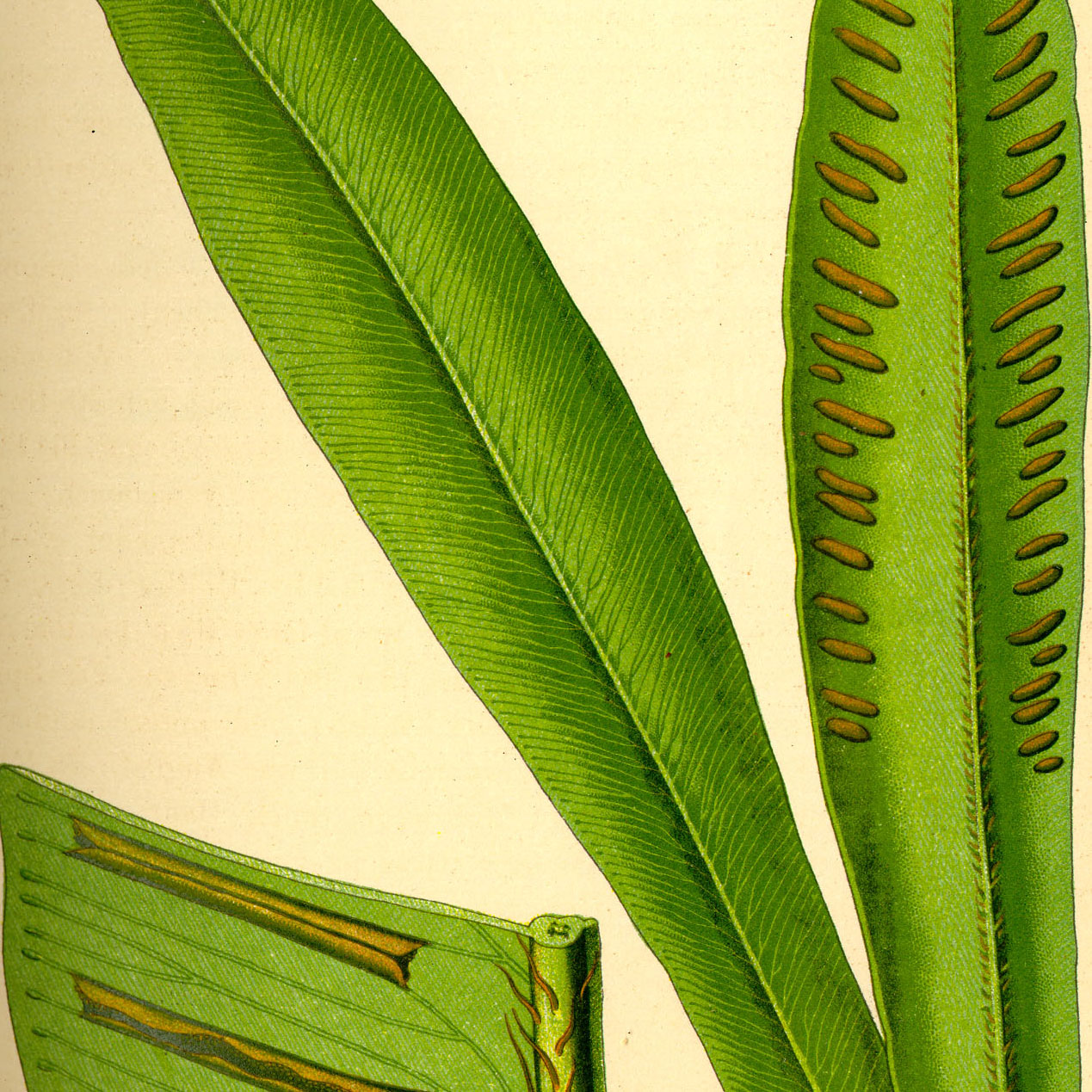 Hart's tongue fern organic cut - 1000g