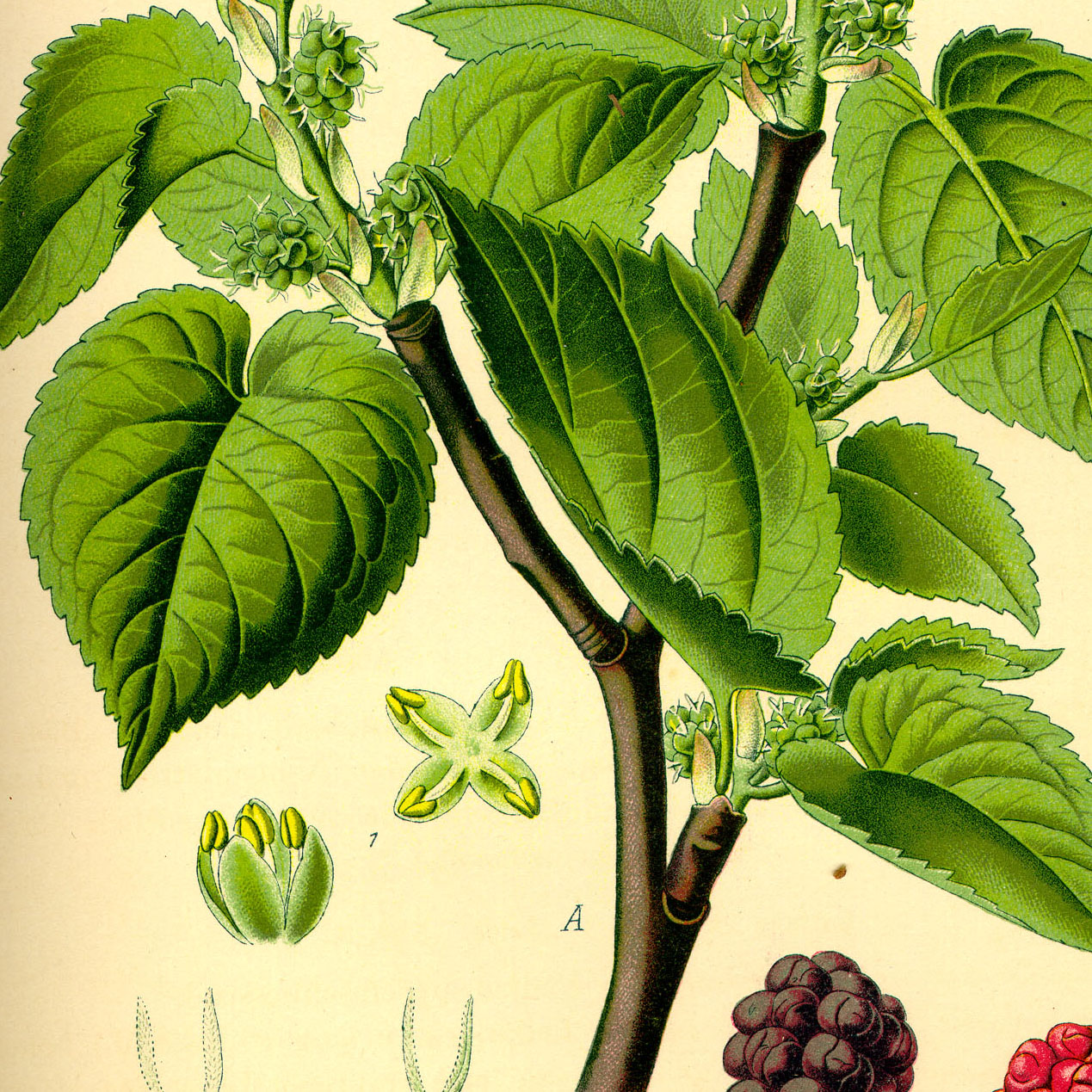 Mulberry leaves cut - 1000g