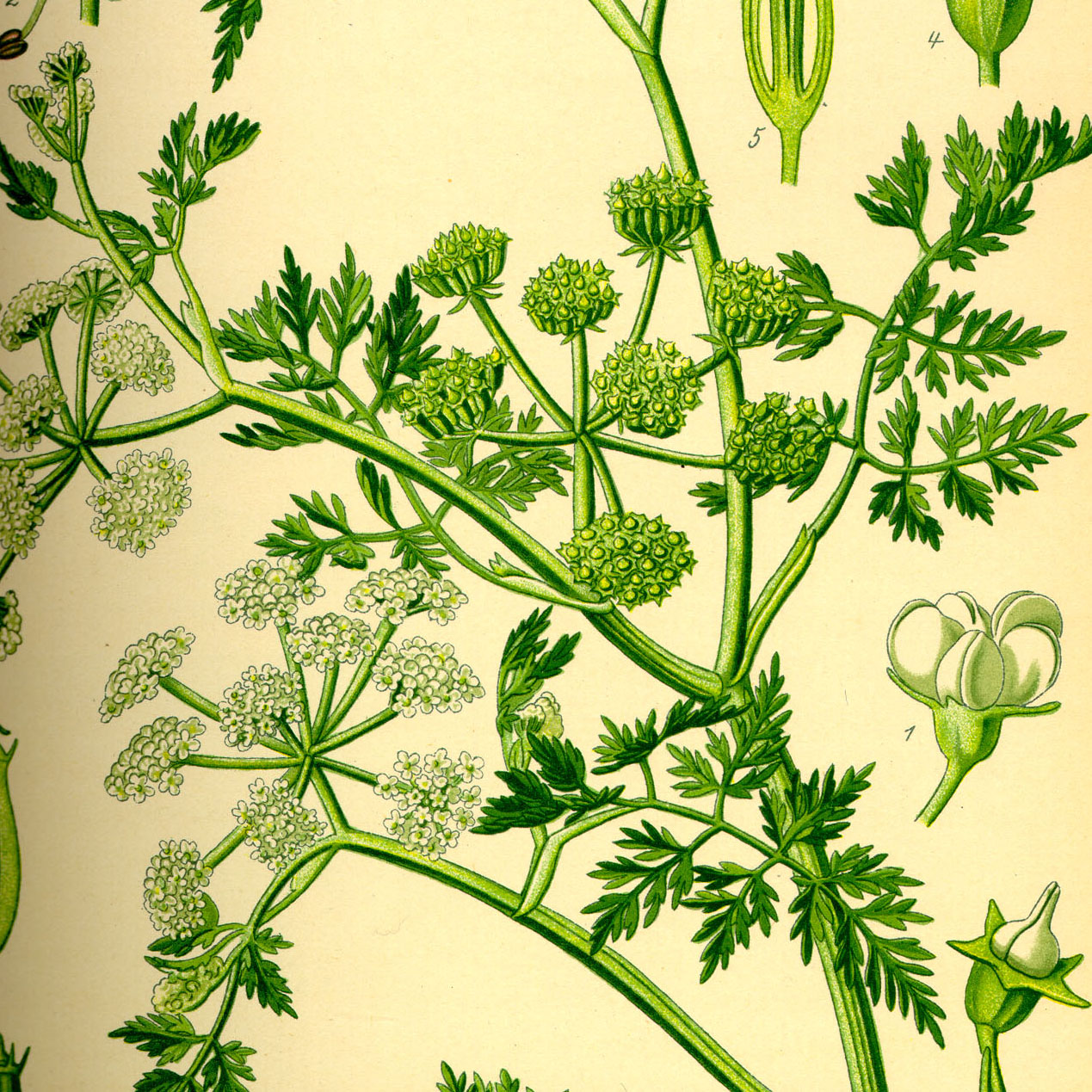 Water fennel whole - 1000g