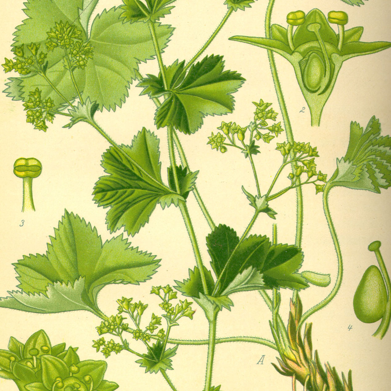 Alpine Lady's Mantle herb cut - 1000g