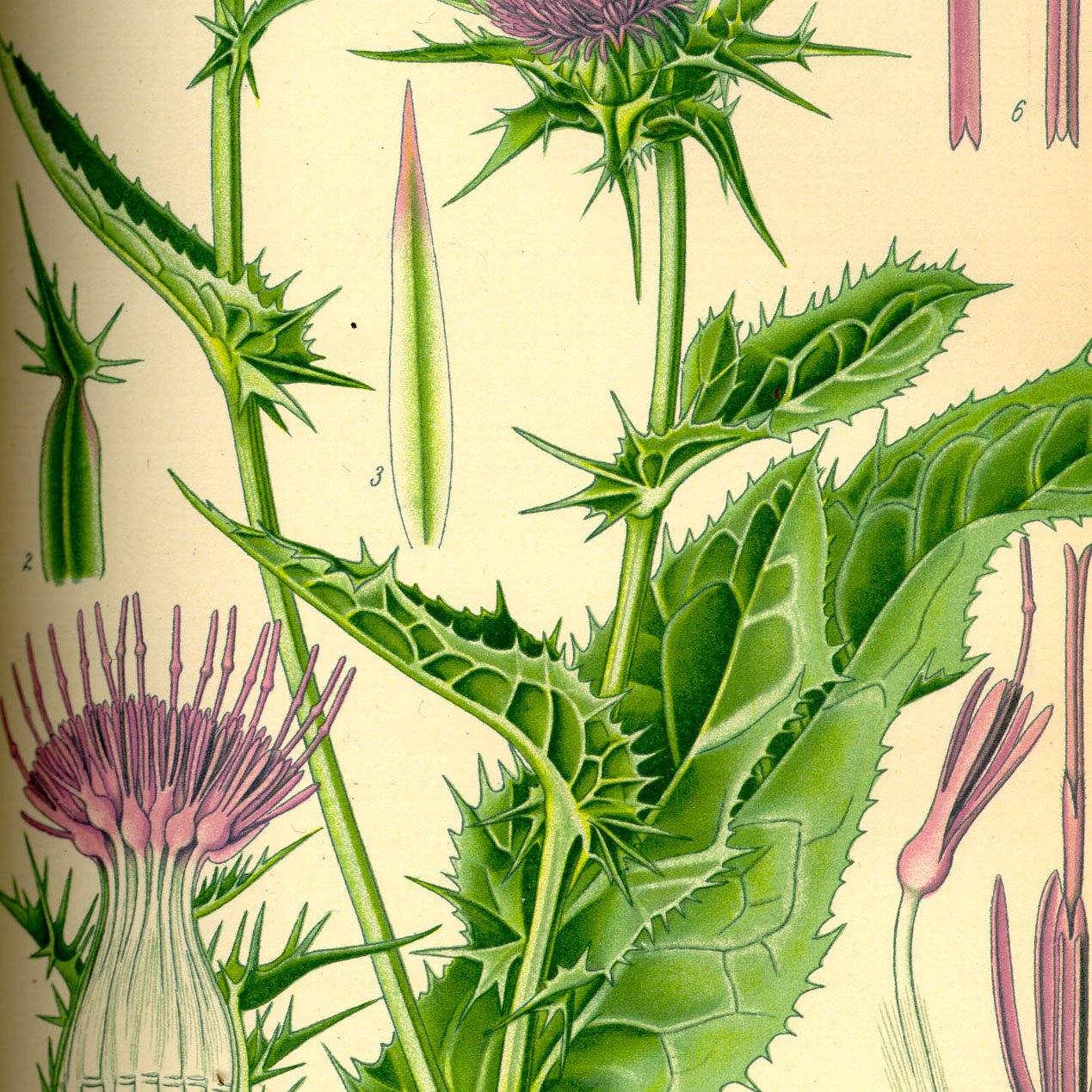 Milk thistle seeds organic powder - 1000g